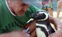 Penguin Swims 5,000 Miles Each Year for Reunion With Man Who Saved His Life