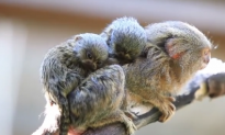 Viral Video Shows Babies of World's Smallest Monkeys (Video)