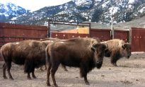 Yellowstone Bison Sent to Slaughter as Park Trims Herd