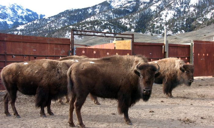 A group of Yellowstone National Park bison await shipment to slaughter inside a holding pen along the park's northern border near Gardiner, Mont., on March 9, 2016. Yellowstone National Park has started shipping its famous wild bison to slaughter in response to concerns by the livestock industry over a disease carried by the animals. (AP Photo/Matthew Brown)