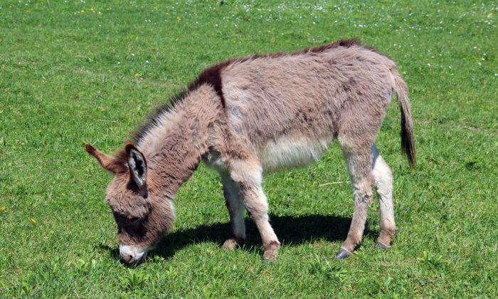 20 Miniature Donkeys Offered for Adoption at Arizona Animal