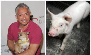 'Dog Whisperer' Cesar Millan Under Investigation for Animal Cruelty