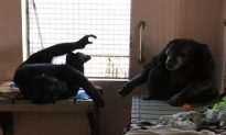 Rescued Zoo Chimp Who Spent 18 Years in Isolation Won't Let Go of New Friend