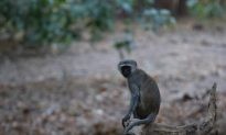 Monkey Causes Power Outage Across Kenya