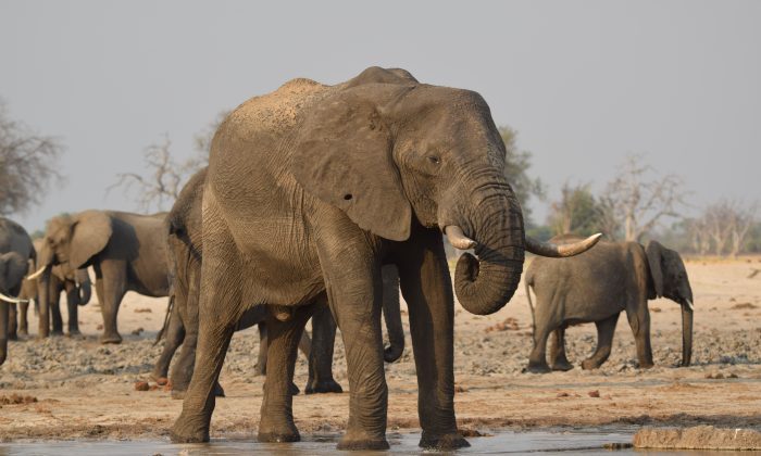 In November, before the rains, when water is at its sparsest, elephants enjoy soaking their feet to cool off the fiery temperatures.(Giannella M. Garrett)