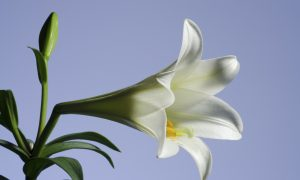 Easter Lily, a Food and Medicine
