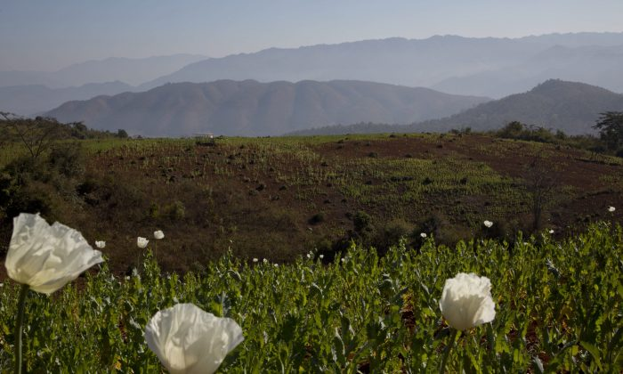 Ottawa is being asked to approve the cultivation of thebaine poppies, which can be processed for use in pharmaceutical products and do not do not have the addictive qualities of opium poppies. (AP Photo/Gemunu Amarasinghe)