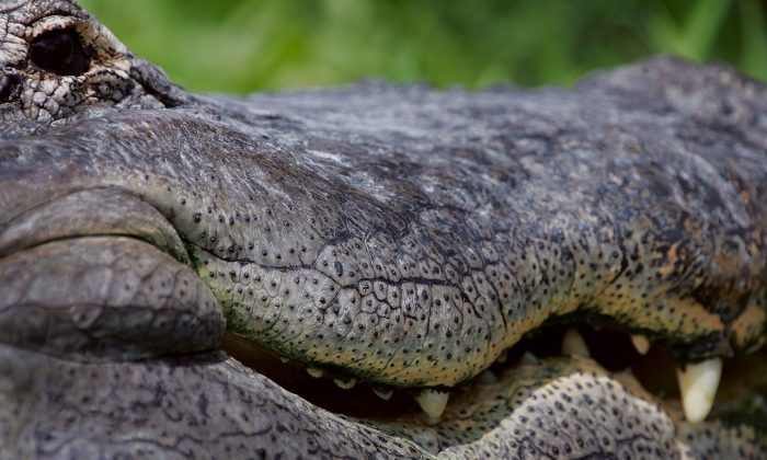 File: Alligator in Florida (Photo by Joe Raedle/Getty Images)
