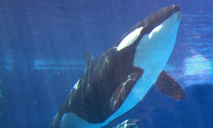 Takara swims with her new calf at SeaWorld in San Diego on May 6, 2002. (AP Photo/Jack Smith, File)