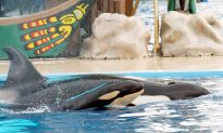 SeaWorld Ends Captive Breeding of Orcas at All Its Parks