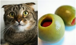 Cats Go Nuts for Olives. Why? (Videos)
