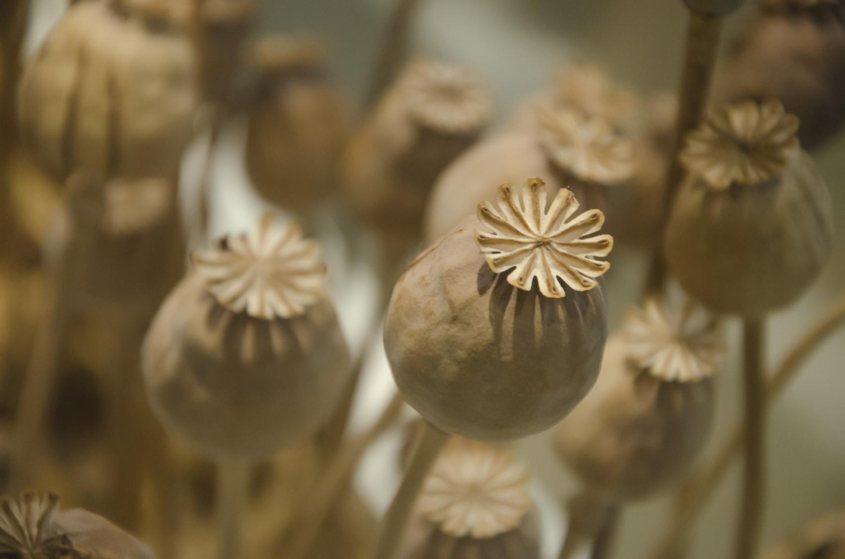 Opium poppy pods, source of the crude drug opium. (nakornkhai/iStock)