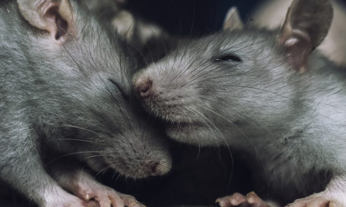 A stock photo of rats. (jinjo0222988/iStock)