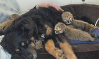 Surrogate Dog to Raise 5 Cheetah Cubs After Mom's Death