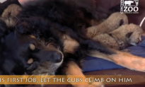 Dog Cares for Cheetah Cubs After Mother Dies (Video)