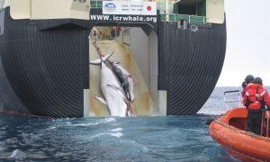 Japan's Latest Whale Kill Draws Criticism