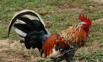 Cops: Central Pennsylvania Woman Killed Coal Mine's Roosters