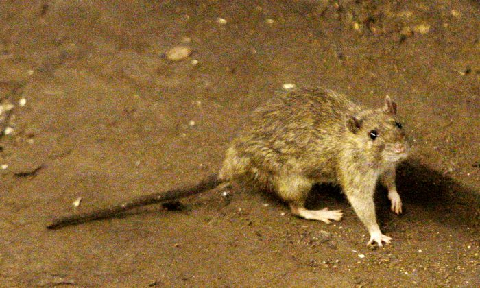 A rat wanders the subway tracks at Union Square in New York in this file photo. (AP Photo/Frank Franklin II)