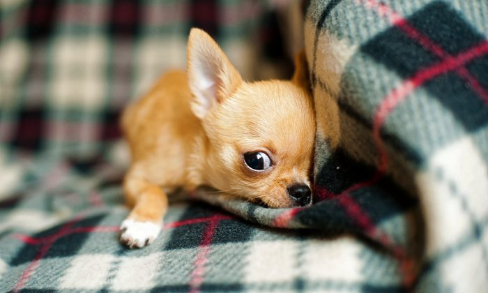 Chihuahua puppy.(kpgolfpro/Pixabay)