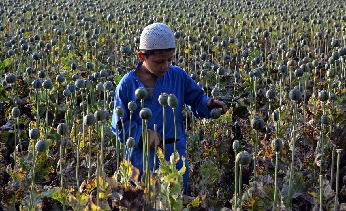 The child of an Afghan farmer harvests opium sap from a poppy field in Surkh Rod District, Nangarhar Province, on May 5, 2015. Opium poppy cultivation in Afghanistan has reached a record high in 2014, a U.N. report has revealed, highlighting the failure of the U.S.-led campaign to crack down on the lucrative crop. The total area under cultivation was about 224,000 hectares (553,500 acres) in 2014, a 7 percent increase from 2013, according to the Afghanistan Opium Survey released by the U.N. Office on Drugs and Crime. (Noorullah Shirzada/AFP/Getty Images)