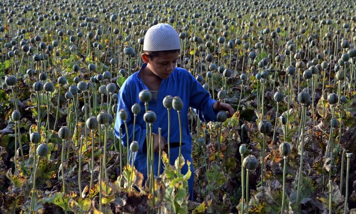 The child of an Afghan farmer harvests opium sap from a poppy field in Surkh Rod District, Nangarhar Province, on May 5, 2015(Noorullah Shirzada/AFP/Getty Images)