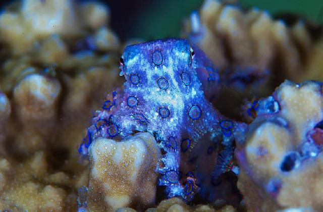 A blue-ringed octopus. (via Toutiao)