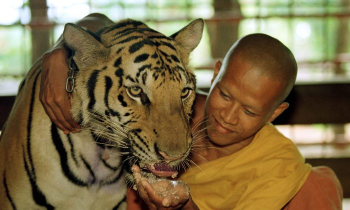 A tiger is fed a meal of dog food and chicken bones June 5, 2001 at the Wat Pa Luangta Bua monastery in Kanchanaburi, Thailand. (Paula Bronstein/Getty Images)