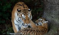 Wild Tiger Populations Increase 22%, Says WWF