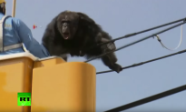 Caught on Tape: Curious Chimp Escapes Zoo, Leads Authorities on Dramatic Chase