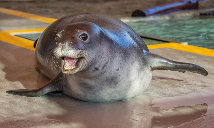 In this Feb. 1, 2016 photo released by The Marine Mammal Center,   Mo'o, an endangered Hawaiian monk seal, participates in rehab after being rescued and admitted to the Marine Mammal Center's Big Island seal hospital in Kailua-Kona, Hawaii. (Julie Steelman /The Marine Mammal Center via AP)
