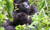 Rare Gorilla Twins Born in Rwanda
