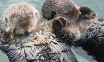 Heartwarming Reason Why Sea Otters Hold Hands (Video)