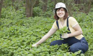 Stinging Nettle for Energy, Detoxification, and More