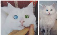 Instagram Cat With One Eye Blue, One Eye Green Brings Rare Breed to Mainstream