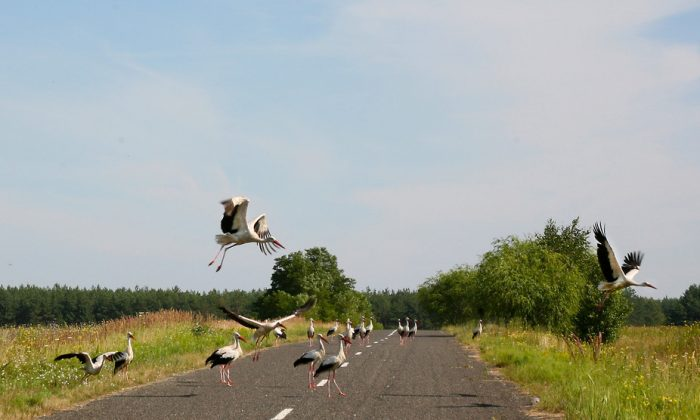White storks on road near Chernobyl, Ukraine. Many parts of the Chernobyl region have low radioactivity levels and serve as refuges for plants and animals. (Tim Mousseau)