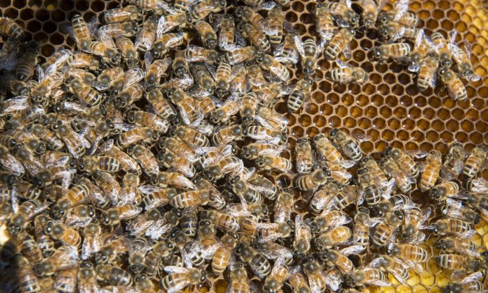 Bees in a file photo. (The Canadian Press/Paul Chiasson)