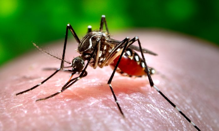 This 2006 photo made available by the Centers for Disease Control and Prevention shows a female Aedes aegypti mosquito acquiring a blood meal from a human host at the Centers for Disease Control in Atlanta. (James Gathany/AP Photo)