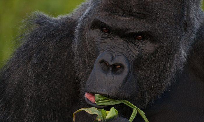 A file photo of a gorilla. (Jack Hynes/CC BY-SA)