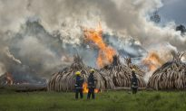 Kenya Burns 105 Tons of Ivory Tusks