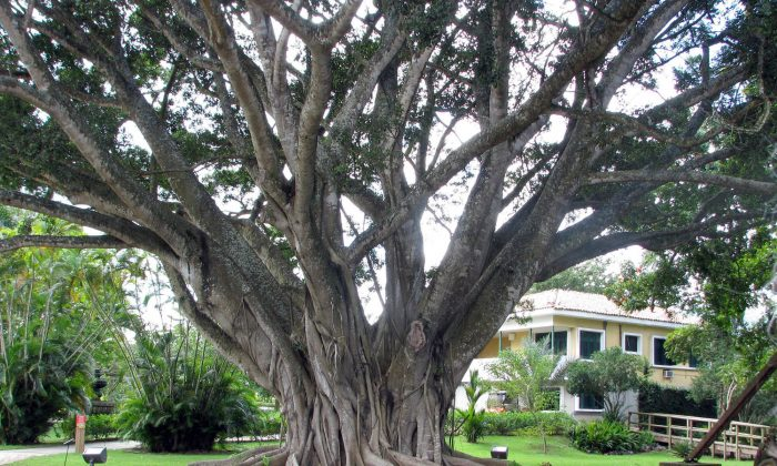 An undated photo of  a weeping fig tree in Puerto Rico  (Lee Reich via AP)