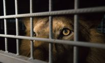 Two Rescued Circus Lions Have Died in South Africa, Group Says