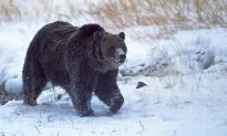 Famous Yellowstone Grizzly Bear 'Scarface' Found Shot, Killed; Sparks Investigation