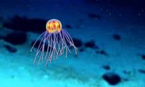 Stunning Jellyfish With Lights Discovered in Mariana Trench, 12,000 Feet Deep