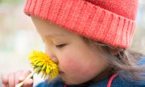 Dandelion Root Far More Effective in Fighting Cancer Cells Than Chemotherapy