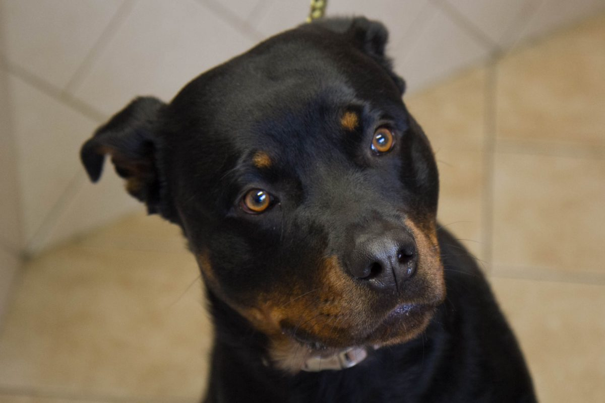 2-year-old Rottweiler