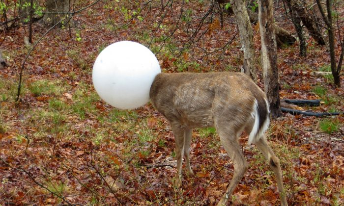 A deer with its head caught in the globe from a lighting fixture over its head stands in the woods in Centereach, N.Y. The deer was able to extricate itself with the help of Environmental Conservation Officer, Jeff Hull. Hull wrestled with the deer for a while and the globe shook free in the process. (New York State Department of Environmental Conservation via AP)
