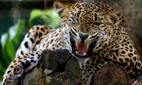 Leopard Snatches 6-Year-Old Boy at South African Game Reserve
