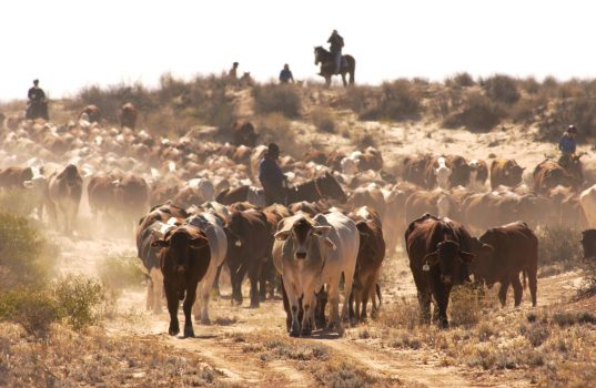 Cattle are driven south during the Great Australian Outback Cattle Drive in Birdsville Track, south Australia, on June 1, 2002. (Tony Lewis/Getty Images)