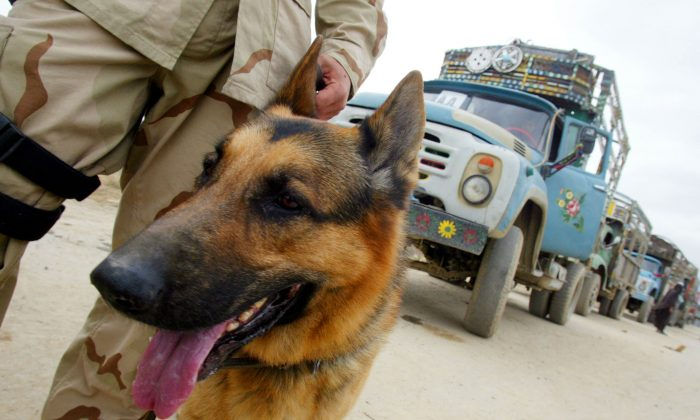 A U.S. military dog is seen at Bagram air base March 22, 2002 in Afghanistan. (Joe Raedle/Getty Images)