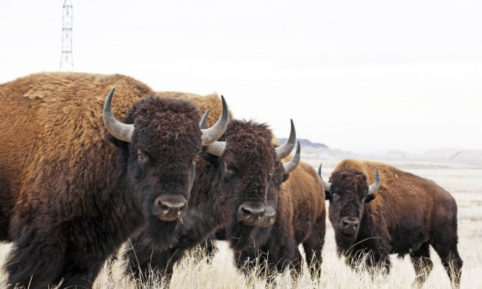 North American Bison at Rocky Mountain Arsenal National Wildlife Refuge in Colorado in a file photo. (Jim Carr/U.S. Fish and Wildlife Service)